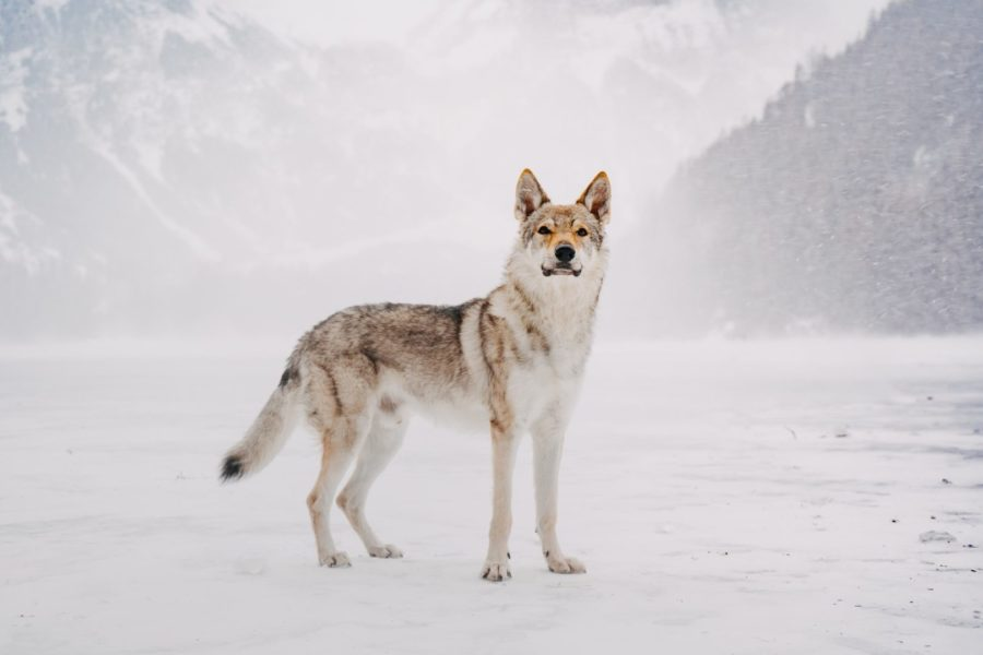A lonely lone wolf